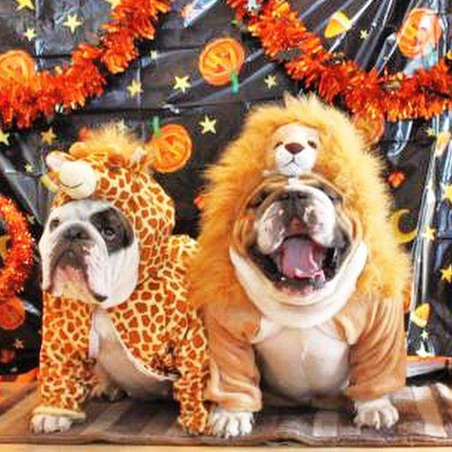 663 best Bulldog images on Pinterest | Animals, English bulldogs ...