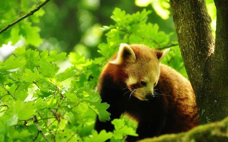 Red Panda HD Wallpaper