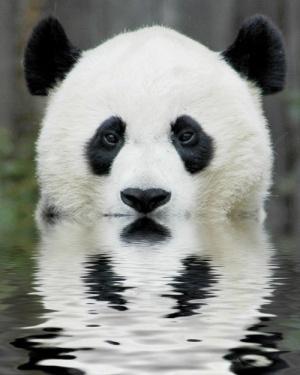 Panda: Animals, Panda Reflection, Nature, Creatures, Pandabear, Photo, Pandas, Panda Bears
