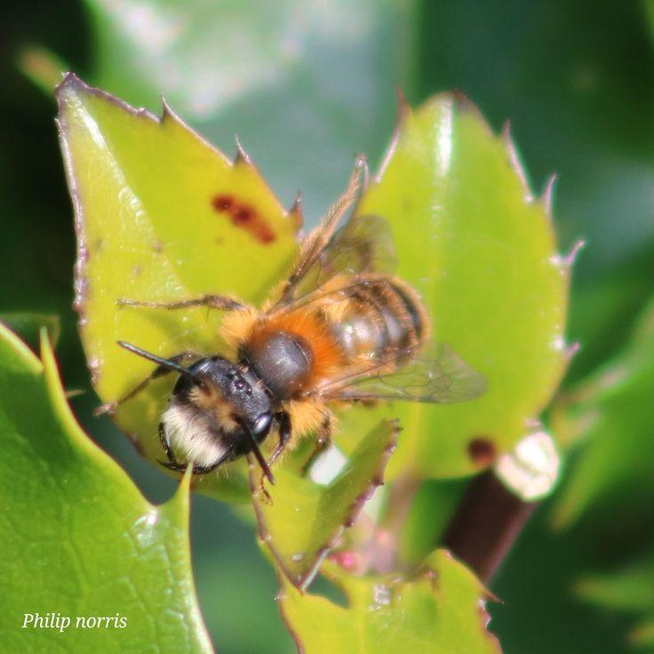 Male tawny mining bee Nottinghamshire England