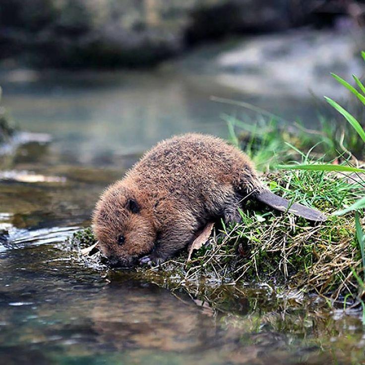Little tiny beaver