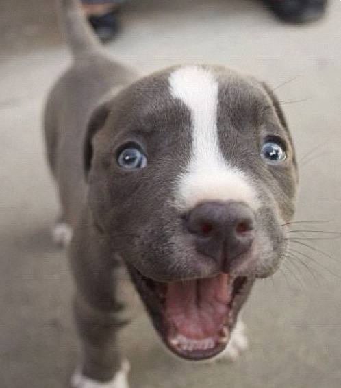 I want him! Blue nose pit<3