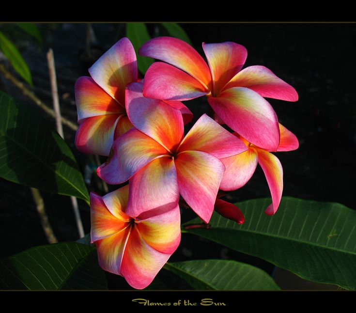 """Here is another shot of the plumeria """"Flames of the Sun"""". The fragrance is sweet with a hint of grape syrup. This is a great plumeria and the colors are so vibrant, the flowers really stick out among the other plumies. This rare plumeria is a collector for sure !"""