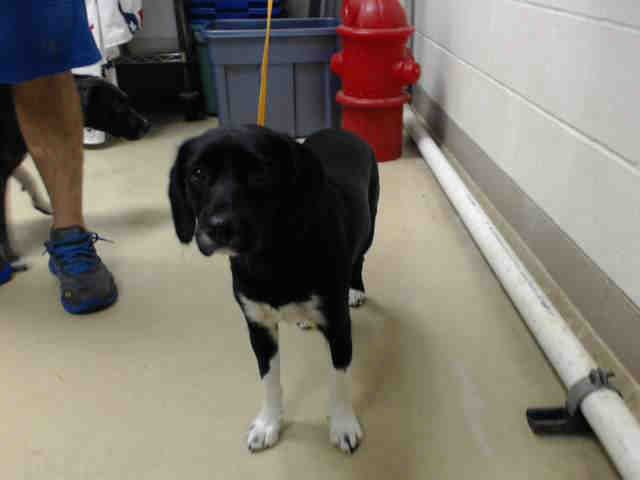 12/29/16 - HOUSTON HIGH KILL FACILITY IS OVER CAPACITY!! - DIXIE - ID#A474529 My name is DIXIE I am a female, black and white Beagle mix. The shelter staff think I am about 2 years old. I have been at the shelter since Dec 23, 2016. This information was refreshed 10 minutes ago and may not represent all of the animals at the Harris County Public Health and Environmental Services