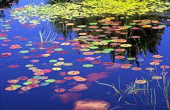 Water Lilies at Harold Porter Botanical Gardens 1257