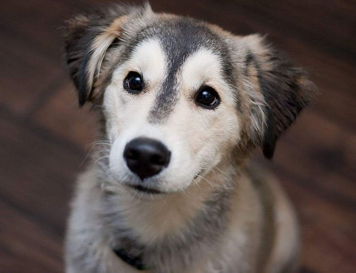 Rare huskey/retriever mix