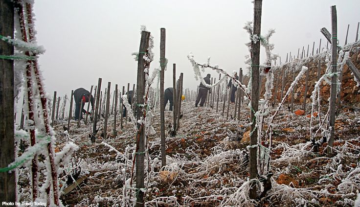 WINERIES CATCH UP ON PRUNING AFTER EXTREME COLD IN JANUARY