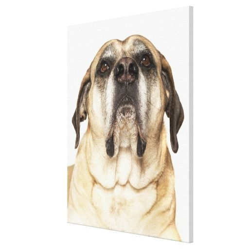 ==> reviews          	English Mastiff lying down, on white background Canvas Prints           	English Mastiff lying down, on white background Canvas Prints We have the best promotion for you and if you are interested in the related item or need more information reviews from the x customer who a...Cleck Hot Deals >>> http://www.zazzle.com/english_mastiff_lying_down_on_white_background_canvas-192303268137883023?rf=238627982471231924&zbar=1&tc=terrest