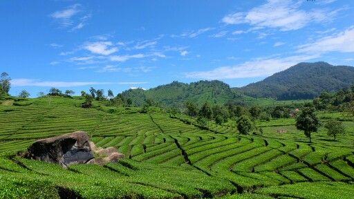 Walini tea garden