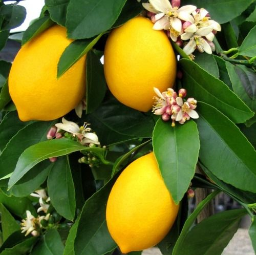 Featured Essential Oil – Lemon  This clean smelling citrus essential oil is not only good for helping you make decisions and to improve your concentration, but cuts down on acidity in the body - thereby assisting the digestion, as well as with rheumatism, arthritis and gout, while also sorting out cellulite, abscesses, boils, carbuncles and acne.  Oil properties Lemon oil has a sharp, fresh smell, is pale greenish-yellow in color and is watery in viscosity.  The shelf life of lemon oil is…