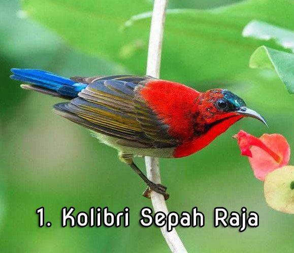 Suara Kolibri Burung Kolibri Burung Suara