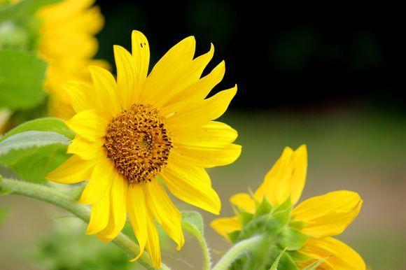 The Sun in the Flower #Sunflower