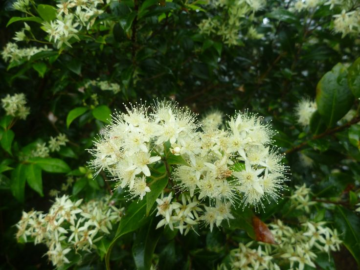 Cinnamon Myrtle (Backhousia myrtifolia) in flower in December in Byron Bay.  Another future essential oil.