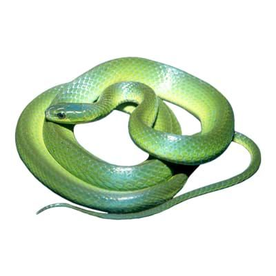 Greater Green Snake care, owner reviews, food, habitats  Top