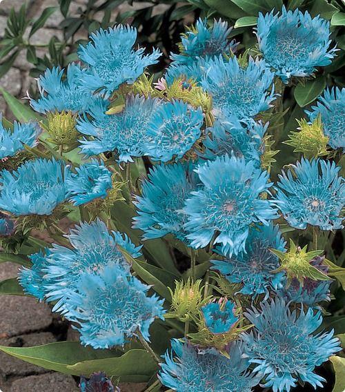 Stoke's Aster 'blue danube' ::: ASU-BEEBE ::: www.ASUB.edu ::: @ASUBeebe ::: #ASUBeebe ::: #ProudToBeBlue