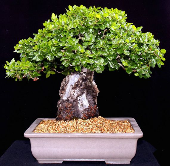 Heirloom 5 Seeds Oak Tree Seeds Bonsai Seeds Quercus by seedsshop, $2.29