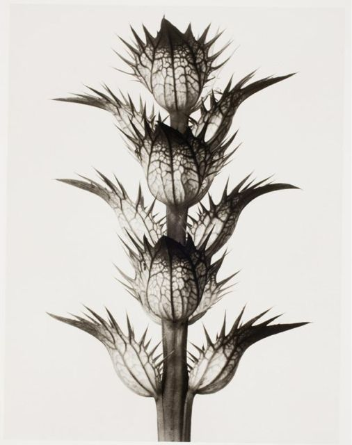 Karl Blossfeldt, Untitled III, 1929