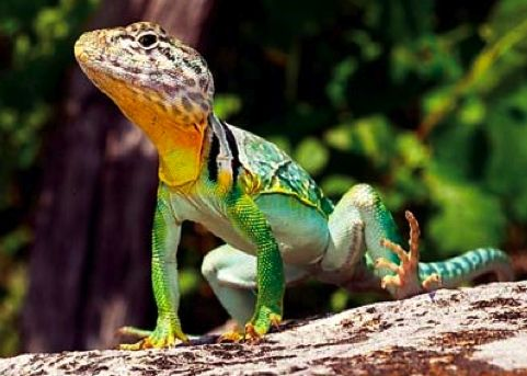 The eastern collared lizard is a rare lizard of Missouri's Ozark glades. It is also Missouri's largest lizard.
