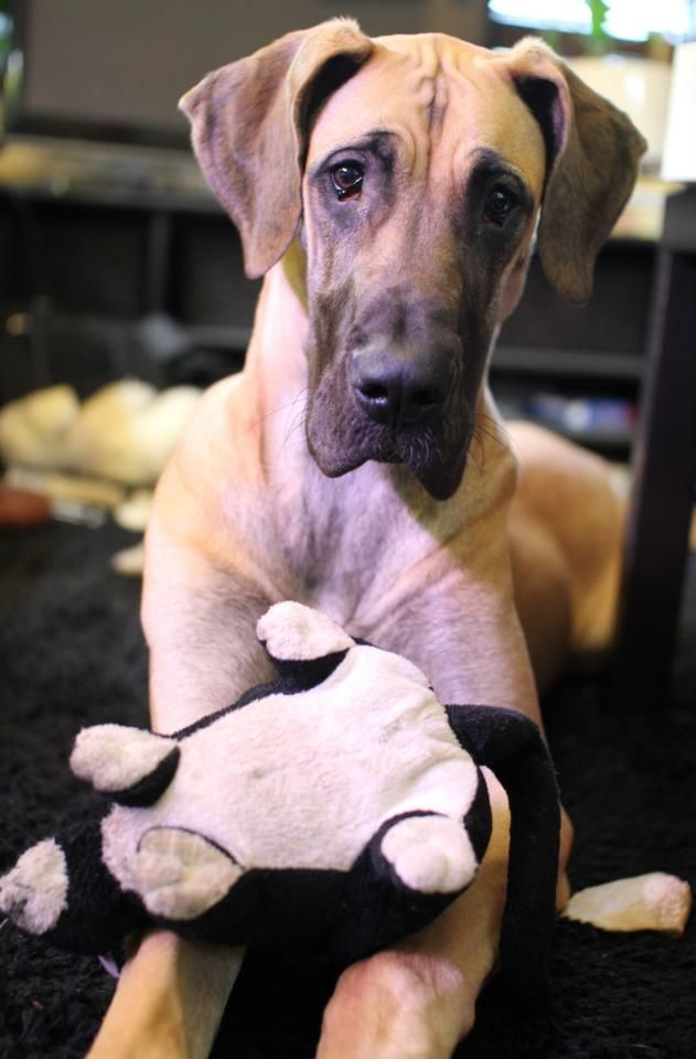 "Fawn Great Dane (8 mo old) // C'mon Kiss For You ""Ronja"" 
