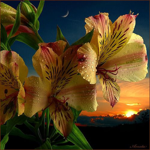My favorite flowers, Peruvian Lilies...how I wish they grew here! I'd have a garden full.