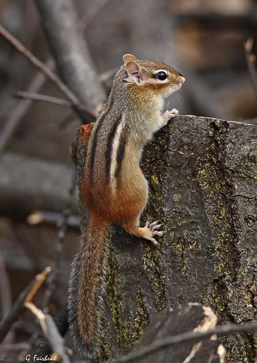 Little chipmunk in the woods.