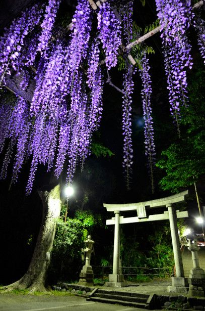 Torii gate and wisteria in Japan