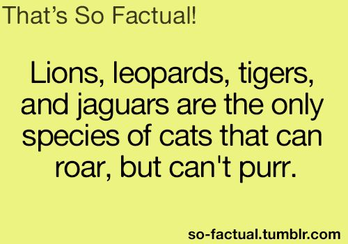 Lions, leopards, tigers, and jaguars are the only species of cats that can roar, but can't purr