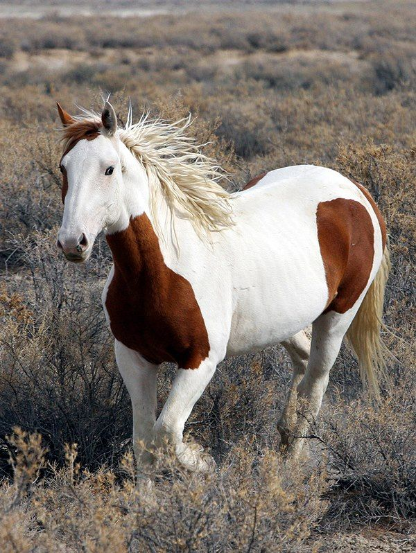 Paint horse in the brush.