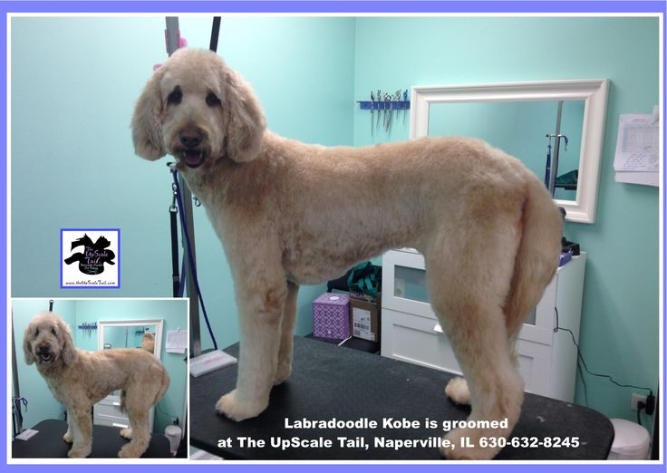 Kobe the Labradoodle, groomed at The UpScale Tail
