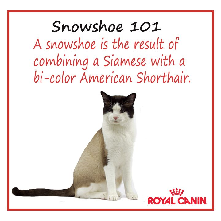 Snowshoe #cat | Cat Breeds | Pinterest | Cats, Kittens and ...