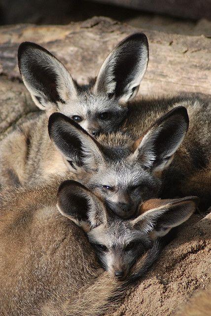 Bat-Eared Fox Kits Löffelhunde im Zoo Krefeld - Eared foxes in Krefeld Zoo