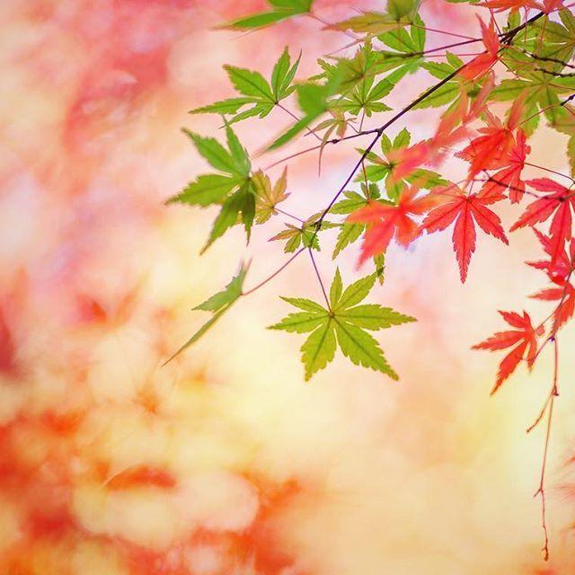 . . 赤と緑の共演 . . 昭和記念公園は紅葉も色づいてきました^ ^ . . #昭和記念公園 #紅葉#7flowers_1day#whim_member#team_jp_flower#whim_fluffy#splendid_lite#softones_perfection#fabulous_shots#whim_fluffy #whim_member #はなまっぷ紅葉2017#dof_brilliance