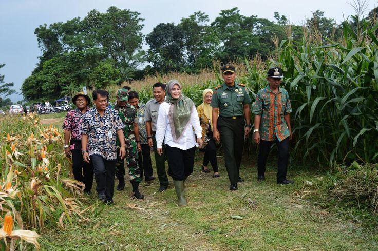 Letkol Inf. Fitriana Nur Heru Wibawa bersama Bupati Pandeglang Pandeglang Tinjau Lokasi Panen Raya Jagung