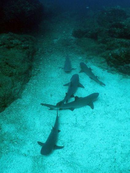 White-tip Sharks, Costa Rica.