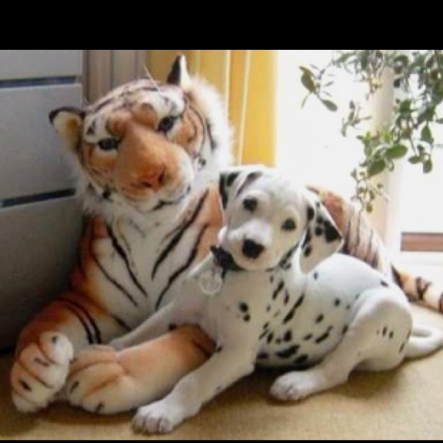 Big cat with a big dog!!!   #dalmatiandogs   __ What is FREECABA? (See My Profile <@jurale13> for an Answer).