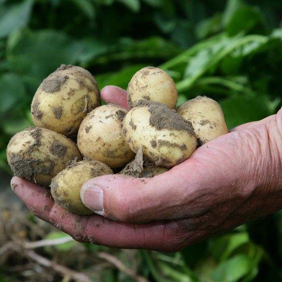 Nieuwe aardappelen met rozemarijn en knoflook