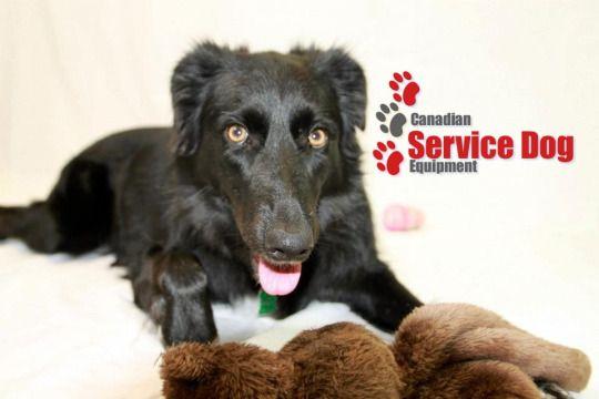 Canadian Service Dog Equipment