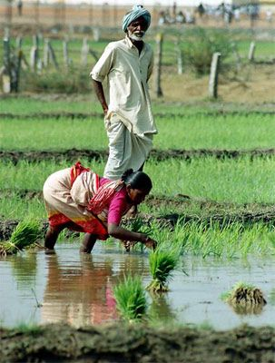 trans - Planting Rice from nursery to main fields, India. paddy is cultivated in India during the monsoon season. germinated in nursery fields & transplanted to main fields with knee/calf height clogged water.