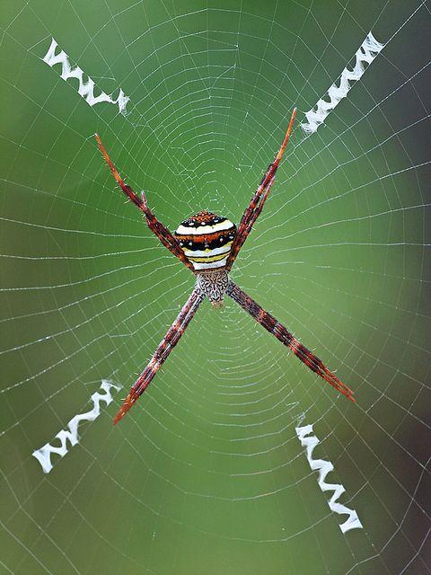 Multi-Coloured St Andrew's Cross Spider, Argiope versicolor (Doleschall) 1859