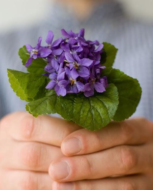 la humilde violeta