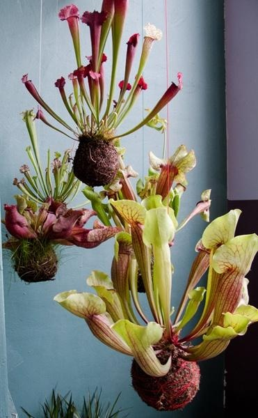 hanging pitcher plants.... whatttt? I want these but I might have to feed them insects