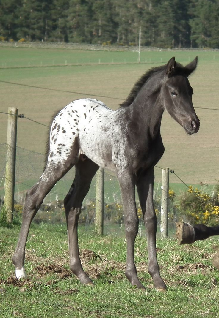 Appaloosa Paint Horse For Sale Ca