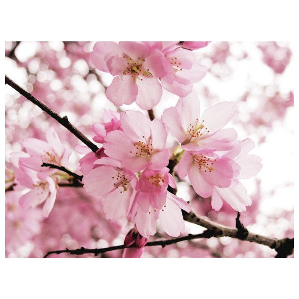 Cherry blossoms flower photography pale pink decor tree branch nursery... (43 AUD) ❤ liked on Polyvore featuring home, home decor, spring home decor, cherry blossom home decor and branches home decor