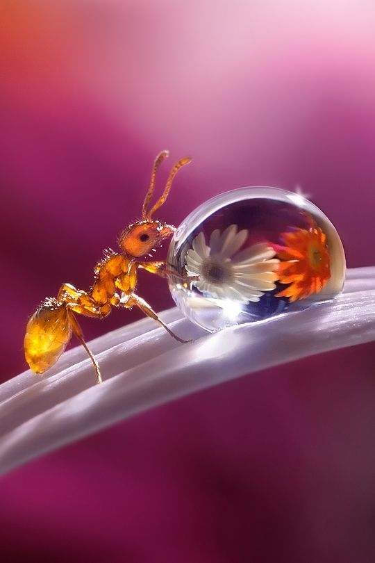 Dew Drop photography - Look at the daisies reflection. - by Polyushko