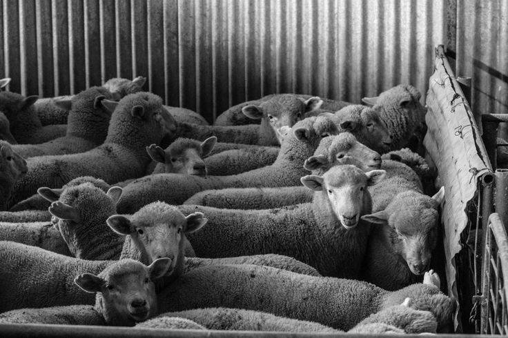 Sheep Waiting to be shorn in the shearing shed