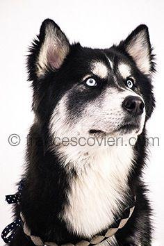 #pets #dog #huski Francesco Vieri ph.
