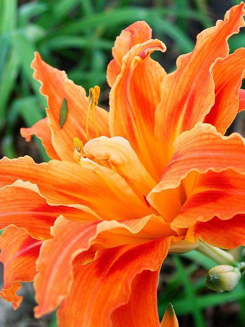 Orange Day Lillies.