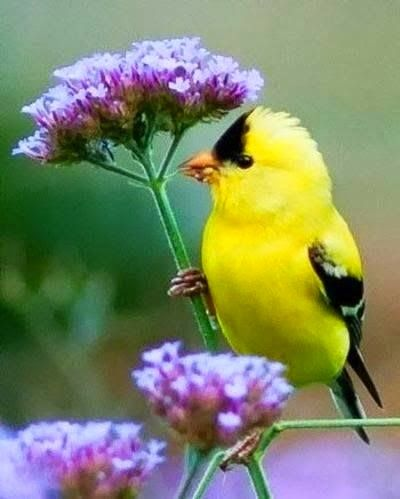 Goldfinch on thistle.