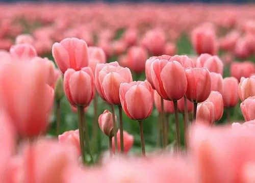 Tulipanes rosass!