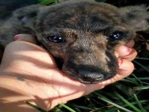 Urgent Puppy Austin Tx Dachshund Meet Tennessee A Dog For